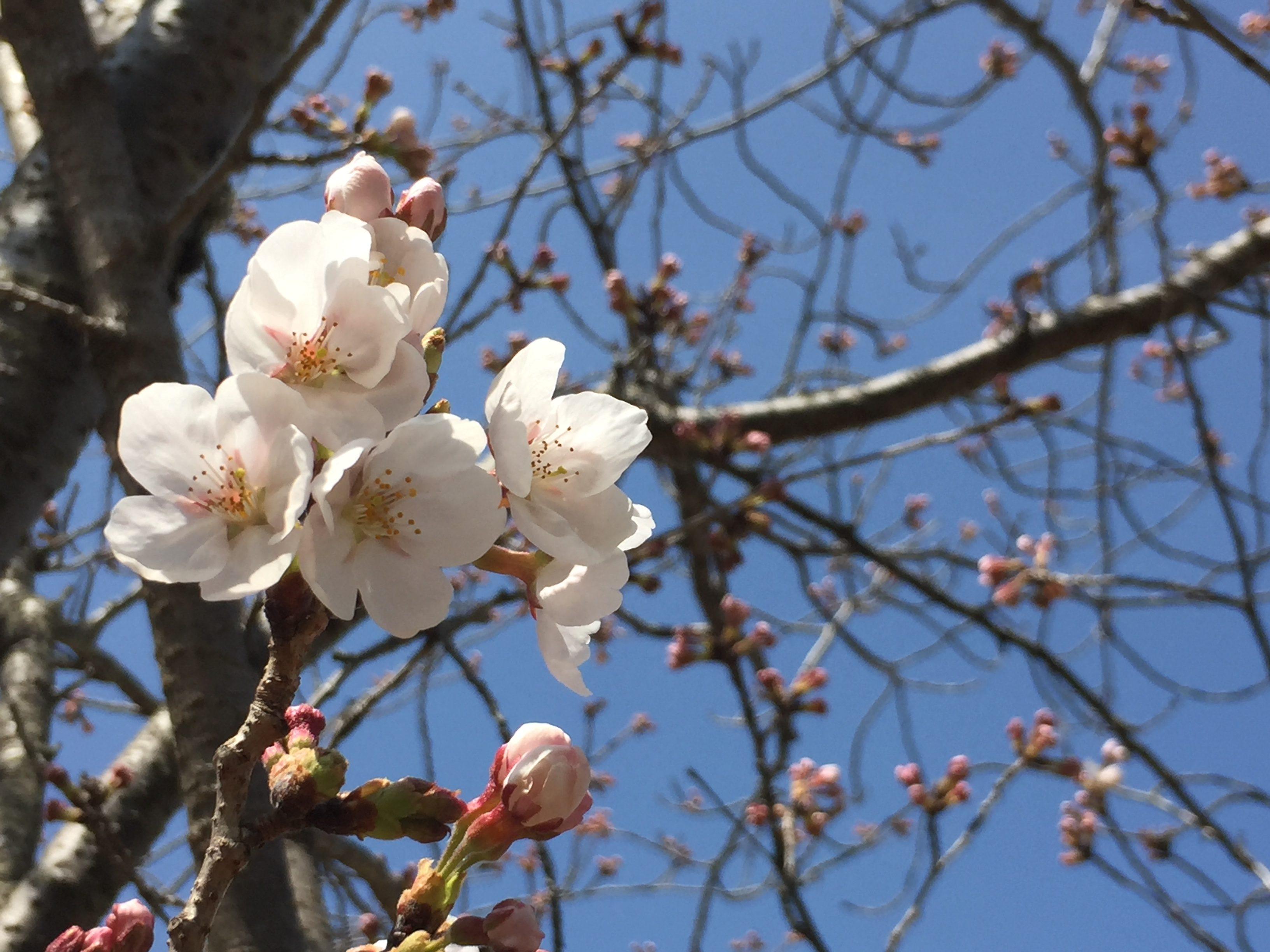 桜の開花情報(奈良北部)